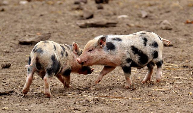 Alles Schwein oder was?